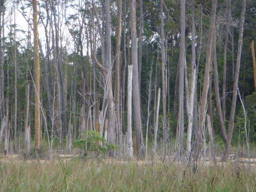 kratom trees during dry season